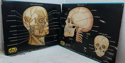 Vintage Skull Muscle Tissue Anatomy Posters I Believe In A European Language