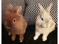 Brother rabbits FREE to a good home