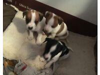 Beautiful full jack puppies