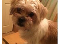 Male shih tzu NO OFFERS