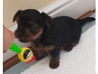 2 Yorkshire terrier puppies