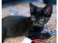 1 beautiful female kitten