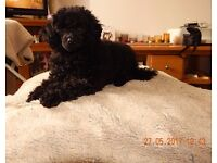 Toy Poodle puppy x 1boy ready to leave