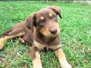 WANTED Red Kelpie Puppy Wanneroo Wanneroo Area Preview