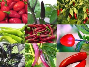 CHILLI COLLECTION 12 packets 200+ seeds mixed fruit VEGETABLE SEEDS garden pack