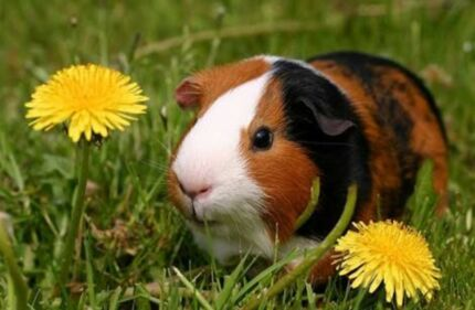 Wanted: Wanted guinea pigs