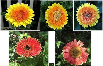 Orange Tangerine Gerber Daisy  HUGE Annual Blooming Flowers     25 Seeds (Orange Gerber Daisy)