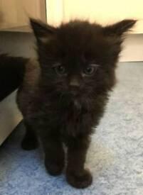 Black kittens 8 weeks old
