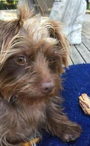 """Young Female Dog - Yorkshire Terrier Yorkie: """"Luna"""""""