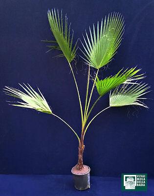 WASHINGTONIA FILIFERA vØ18cm Palma californiana pianta California fan palm plant