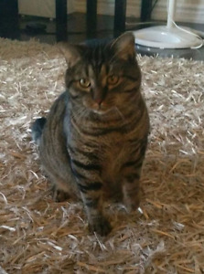 Lost Male Cat - $100 Reward - Boul Plateau