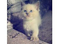 Blue Point Male Ragdoll Kitten