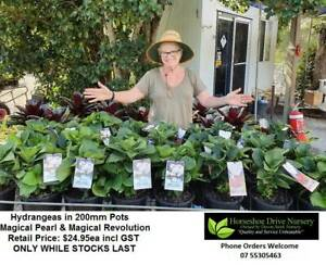 Hydrangeas in 200mm Pots Magical Pearl & Revolution - Nice Plants Mudgeeraba Gold Coast South Preview