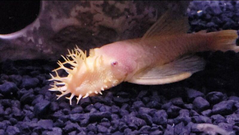 (6) Bristlenose pleco live fish