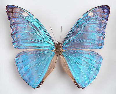 ONE REAL BUTTERFLY BLUE MORPHO MARCUS ADONIS WINGS CLOSED UNMOUNTED PAPERED
