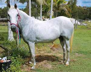 WANTED: TRAIL RIDING HORSE with basic education Gympie Gympie Area Preview