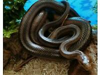 Rat Snake (Experienced needed!) free to a good home
