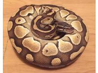 Male Butter Royal Python NO OFFERS