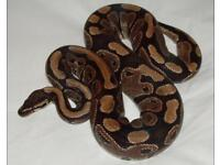 Royal Python with Full Setup- Can Deliver