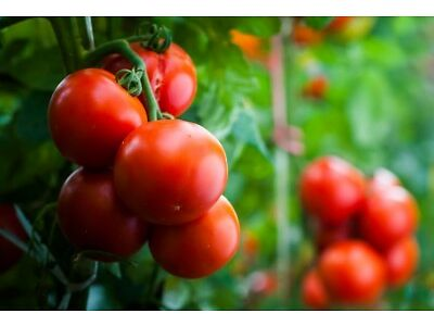 "175 seeds Field tomato /""Harzfeuer F1/"" valued across Europe"