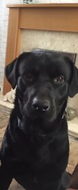 Male dog needs rehoming, 2 year old Lab x Rottie