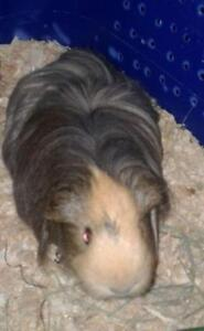 "Adult Female Small & Furry - Guinea Pig: ""Audrey"""