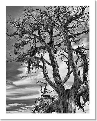 Dramatic Picture Of A Dead Tree. Art Print Home Decor Wall Art Poster - C ()