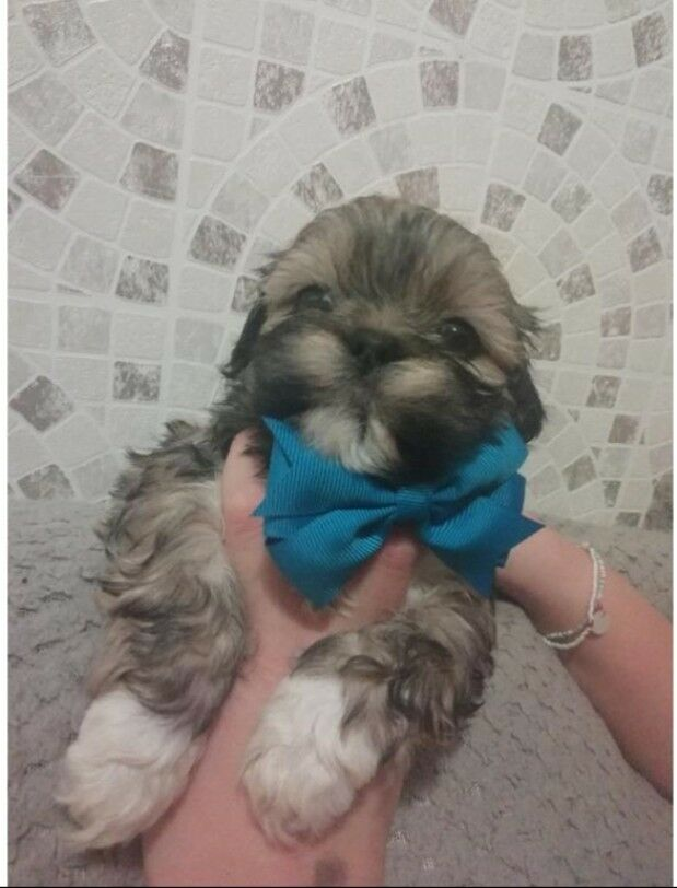 2 Shih Tzu Boys For Sale In Gainsborough Lincolnshire Gumtree