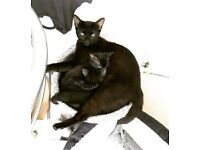 Black/Grey Female Kitten