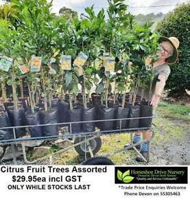 Fruit Citrus Trees - Oranges Lemons Limes & Mandarines Plants Mudgeeraba Gold Coast South Preview