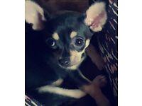 13 week old black and tan Chihuahua