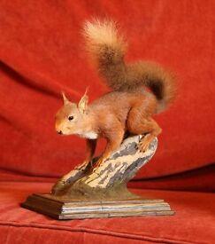 Taxidermy - Red Squirrel