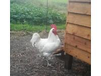 La Bresse chickens