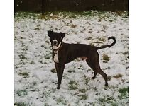 2 YEAR OLD BOXER/LURCHER CROSS