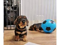 Wire haired dachshund puppies ***Ready to leave now***