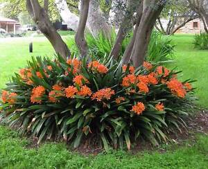 Clivia plants - LOTS of them - FREE for you to remove Terrey Hills Warringah Area Preview