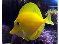 Beautiful Yellow Tang for the Marine Aquarium Fish no Coral