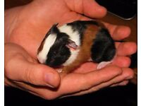 6 Gorgeous patterned baby Guinea pigs for sale!
