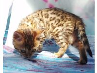Bengal TICA Registered Girl Stunning snow undercoat Red spot