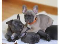 Health test French bull dog puppys