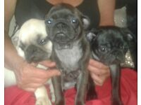 pug puppies kc reg champion bloodline