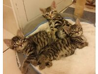 Lovely litter of Bengal x kittens