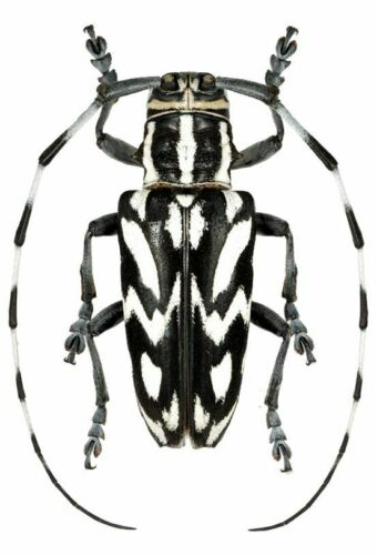 Cerambycidae: Combe brianus (Female) Rare species - Malaysia