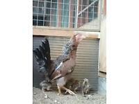 Satsumadori hen 7 chicks