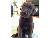 Choco pup