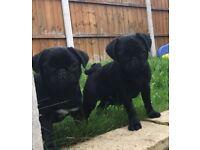 Female puppie pugs (BLACK) KC registed