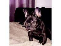 French bulldog amazing puppy ❤️
