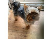 Gorgeous Puppies miniature Chihuahua miniature Yorkshire terrier crossed for sale
