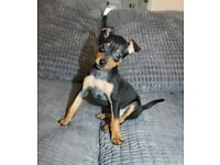 KC Miniature Pinscher girl