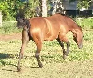 Good Producing AQHA broodmare Hemmant Brisbane South East Preview